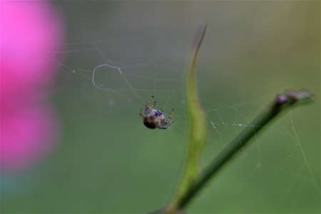 Spider in her spider web against a green and pink blurred background 版權商用圖片