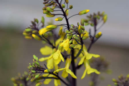 Yellow flowering kohlrabi-cabbage as a close up Banco de Imagens
