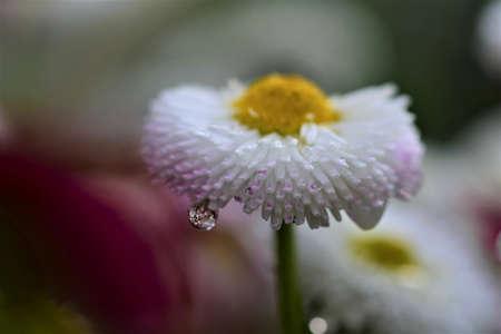 White Bellis Perennis after rain as a close up Banco de Imagens