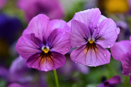 Close up of two purple pansy against a blurred background Banco de Imagens