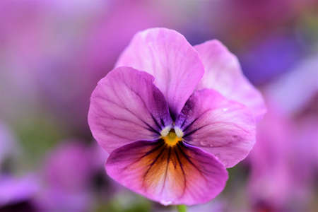 Close up of one purple pansy against a blurred background