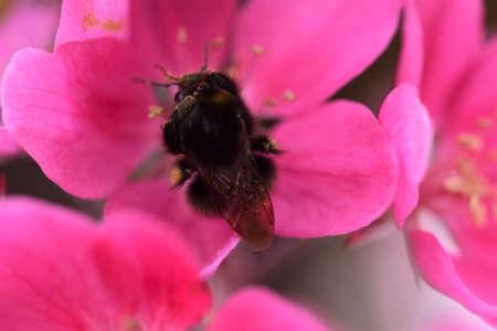 Bumblebee collecting pollen in appletree blossom as a closeup Banco de Imagens