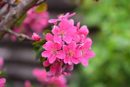 Pink flowering apple tree as a close up