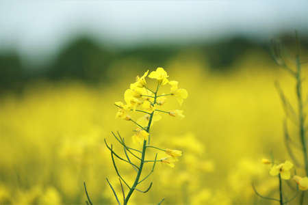 Close up of a yellow rapeseed blossom against a rapeseed field