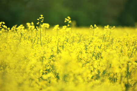 Close up of some yellow rapeseed blossoms against a rapeseed field Banco de Imagens