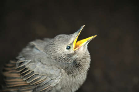 Hungry little star chick as a close up Banco de Imagens
