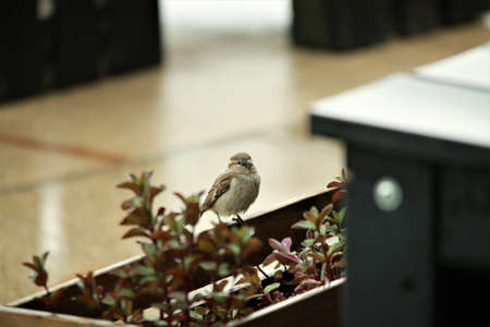 Sparrow sits on a flower box between wooden tables while it is raining Banco de Imagens