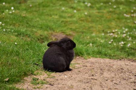 Black rabbit sitting on sand besides a green lawn Banco de Imagens