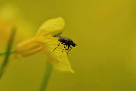 Black fly on a yellow rapeseed flower as a close up