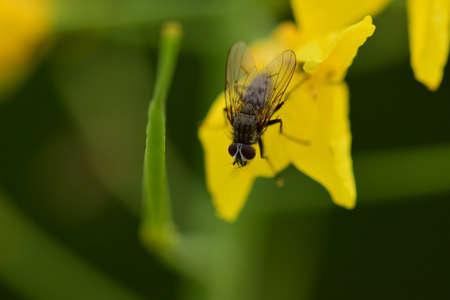 Black fly on a yellow rapeseed flower against a green background as a close up