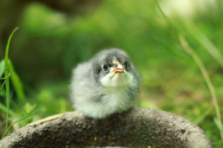 A little young chicken chick in the grass in front of a potions
