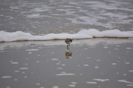 Calidris alba - Sanderling - migratory birds at the beach