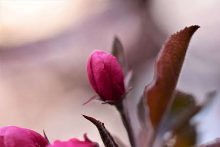 Pink colored flower of an apple tree after rain