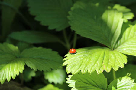 One red ladybug on a strawberry leaf
