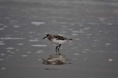 Calidris alba - Sanderling - migratory bird standing in flat water Banco de Imagens