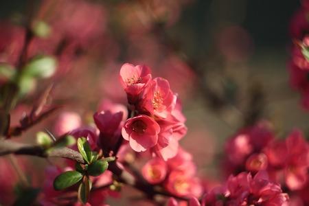 japonica: Chaenomeles japonica