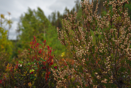 heather in the forrest