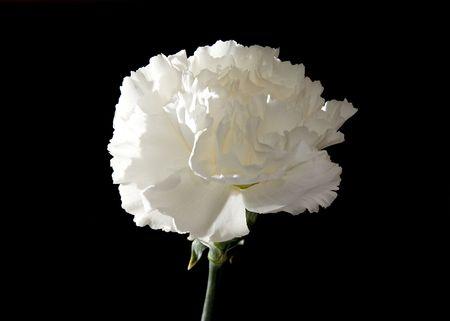 shot of a white carnation over black background