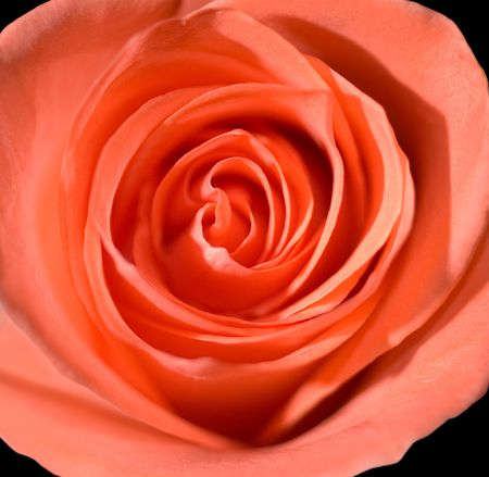 macro shot of a beautiful pink roses center photo