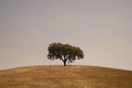 Olive tree isolated Stock Photo - 3985319