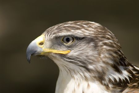 Ferruginous buteo photo