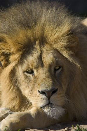 Male lion face Stock Photo - 4033182