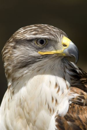 Hawk, Ferruginous buteo Stock Photo - 4094154