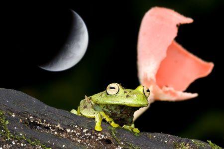 hyla: Hyla granosa frog from ecuador