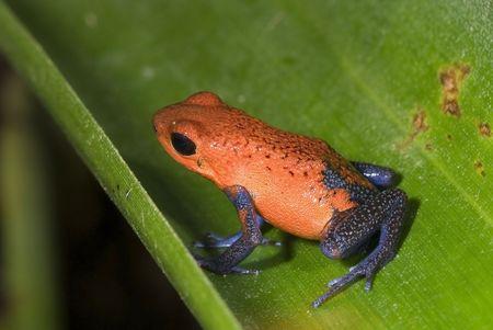poison frog: Poison frog, Dendrobates pumilio. Costa Rica Stock Photo
