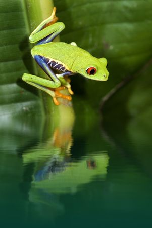 redeye: Red eye tree frog with reflection