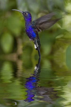 Hummingbird hover with reflection photo