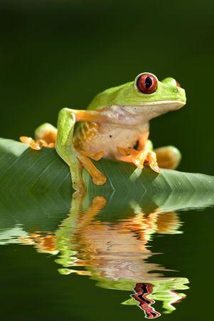redeye: Red eye tree frog Agalycnis callidryas from Costa Rica