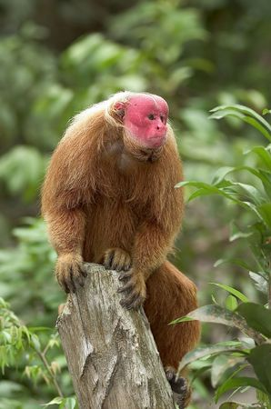 rare: Red Uakari monkey, a very endangered species, Amazon rainforest