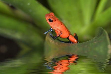 strawberry frog: Poison Frog, Dendrobates pumilio. Costa Rica
