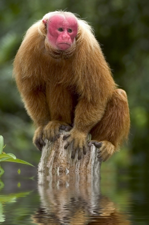 Red Uakari monkey from Amazon, Brazil
