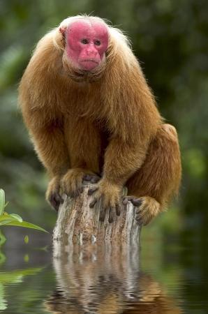 sciureus: Red Uakari monkey from Amazon, Brazil