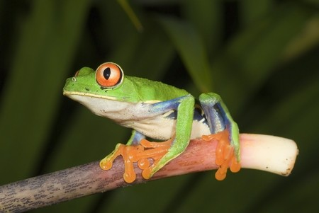 redeye: Red Eye Tree Frog Stock Photo