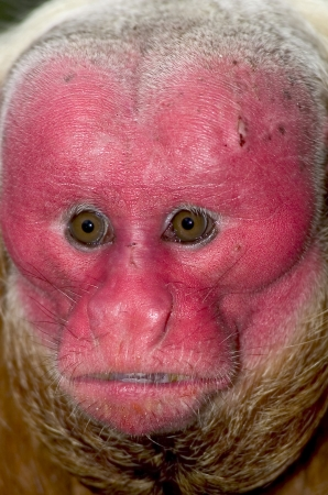 endangered species: Red Uakari, a very endangered species, in Amazon rainforest
