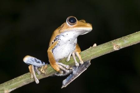 hyla: Hyla calcarata frog from ecuador Stock Photo