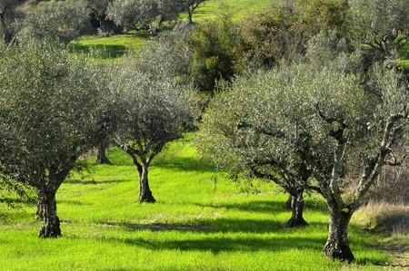 free background: Olive trees Stock Photo