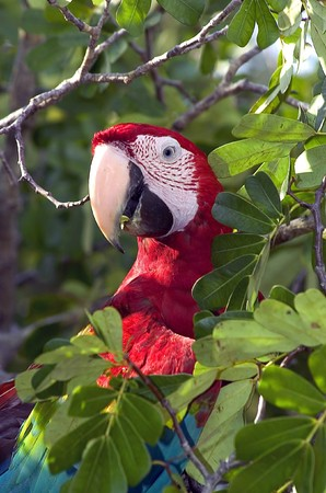 Red and green macaw in amazon rainforest photo