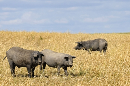 Black pigs in a field with cloudy skies photo