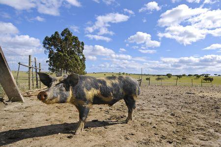 spoted: Spoted piglet in a farm with a blue sky with clouds Stock Photo