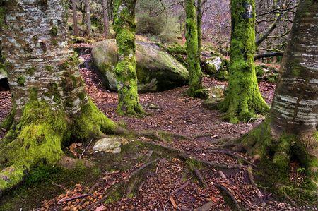 liquen: Bosque irlandesa en invierno con �rboles llenos de Liquen esperando los leprechauns  Foto de archivo