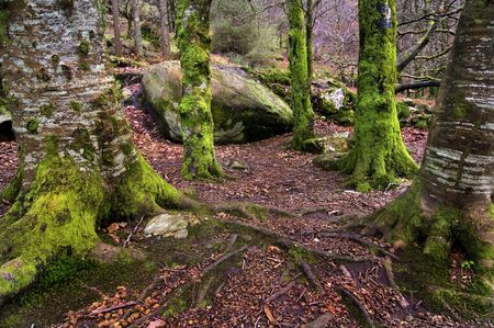 Irish forest in winter with trees full of lichen waiting for the leprechauns photo