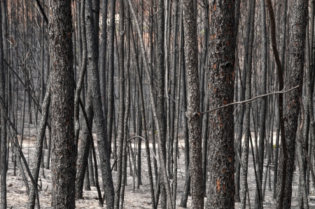 Quemado bosque despu�s de un gran incendio en Portugal photo