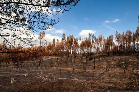 Burned forest after a huge fire in Portugal Stock Photo - 17994970