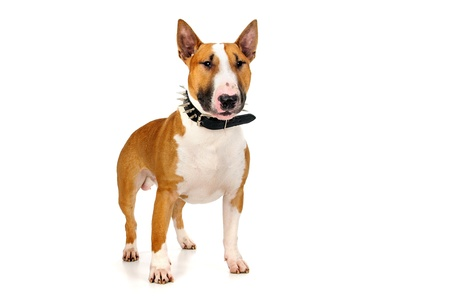 Beautiful young Bull Terrier isolated in white Stock Photo