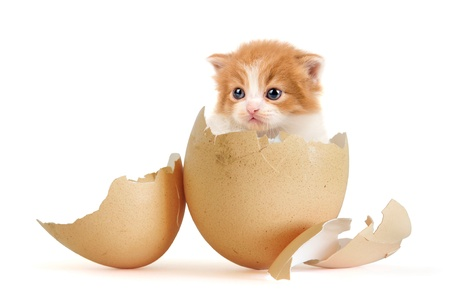 cats playing: Broken egg with a very young kitten inside isolated in white