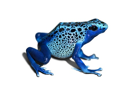 Dendrobates azureus, poison-dart-frog isolated in white photo